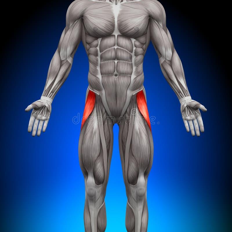 Tensorowi Fasciae Latea - anatomia mięśnie ilustracji