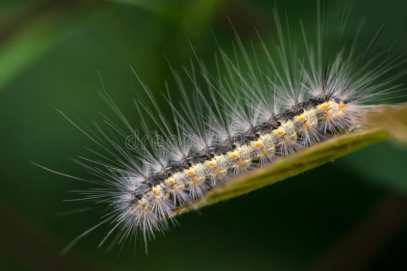 Tent Caterpillar. (Also known as Army Caterpillar royalty free stock photography
