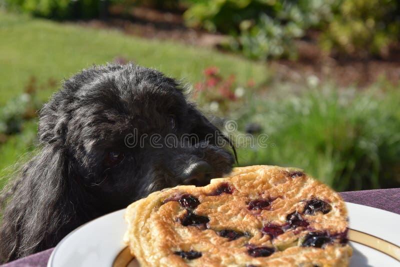 Tentativas do cão para roubar uma panqueca foto de stock royalty free