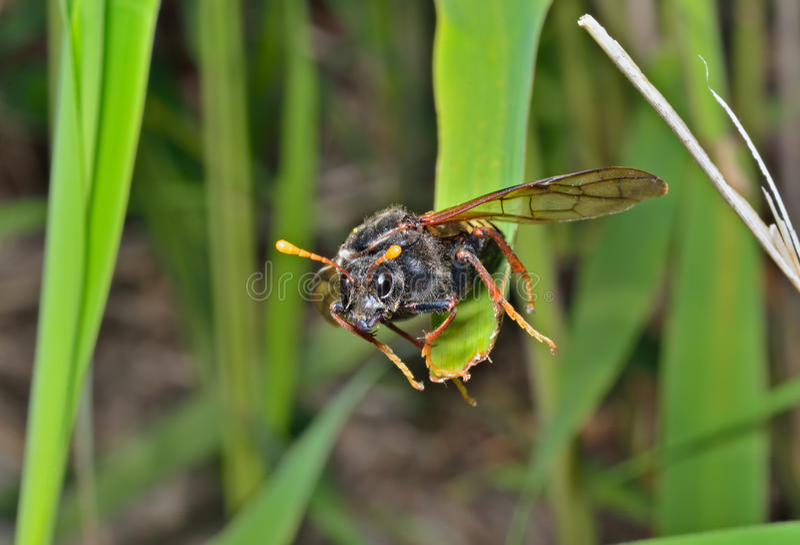 Tenthrède d'insecte (Tenthredinidae) 9 photo stock