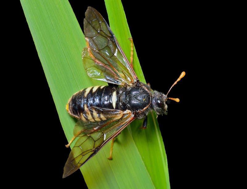 Tenthrède d'insecte (Tenthredinidae) 9 photos stock