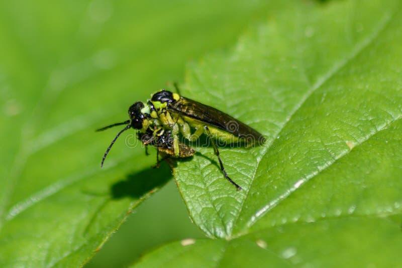 Tenthrède verte consommant un autre petit insecte images libres de droits
