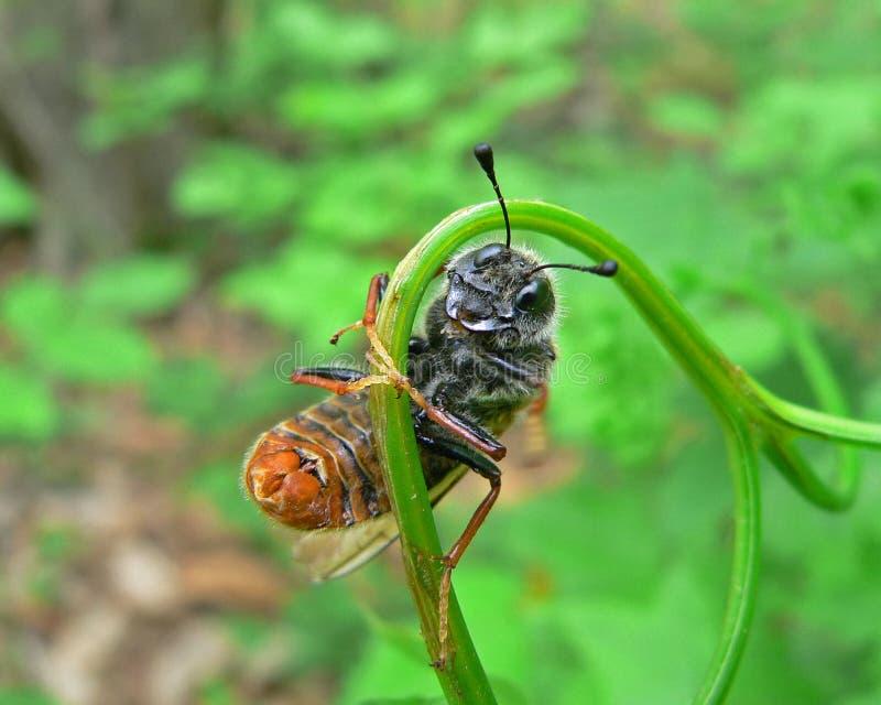 Tentredine dell'insetto (Cimbicidae) fotografia stock libera da diritti