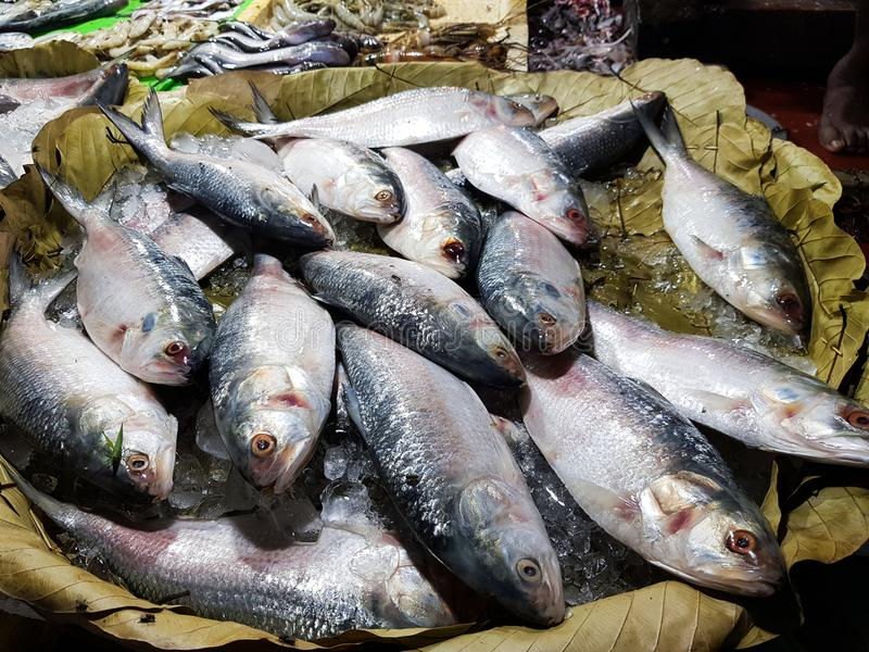 Tenualosa ilisha Hilsa ilish fishes on ice for sale in fish market with silvery scaleFive-spot Herring, Hilsa Kelee shad Tenualosa. Five-spot Herring, Hilsa royalty free stock photo