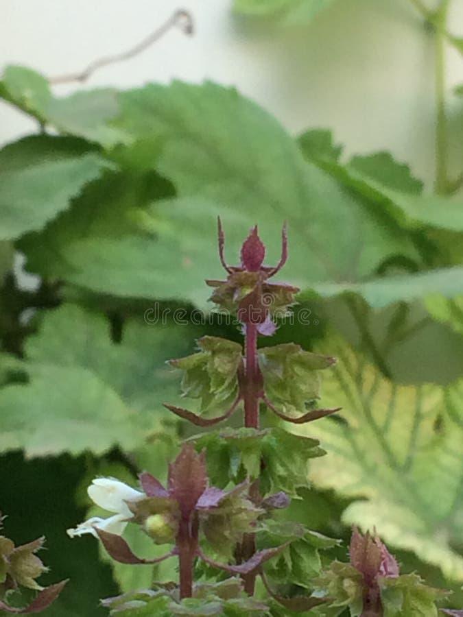 Tenuiflorum d'Ocimum et x28 ; sanctum& x29 d'Ocimum de synonyme ; photo photographie stock