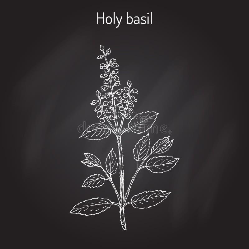 Tenuiflorum santamente de Basil Ocimum, ou tulasi ilustração do vetor