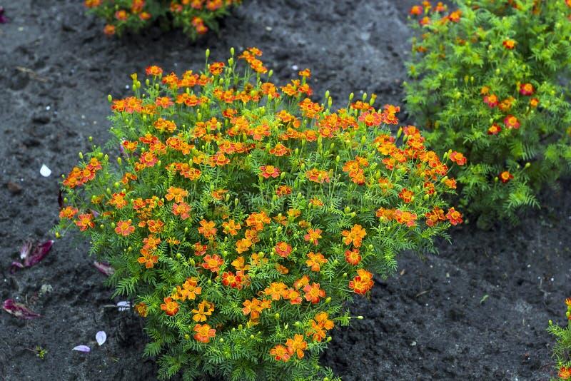 Tenuifolia amarelo de Tagetes das flores pequenas no jardim imagens de stock royalty free