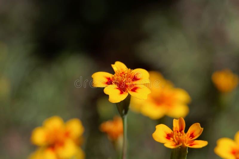 Tenuifolia de Tagetes do cravo-de-defunto do sinete imagem de stock royalty free