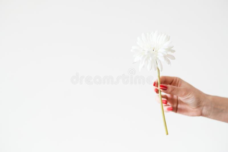 Tenuta bianca della mano del fiore del fondo della gerbera della margherita fotografie stock