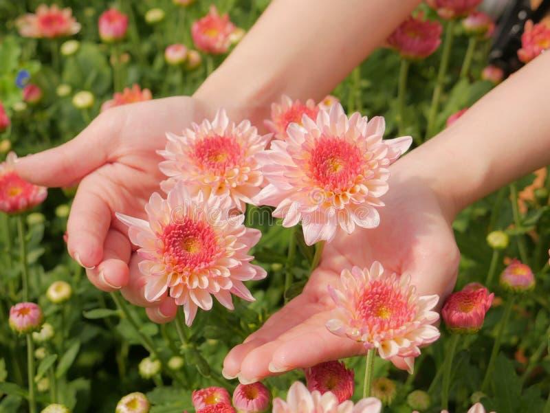 Tenuta del fiore rosa bello del crisantemo in entrambe le mani con il fondo del giardino immagini stock
