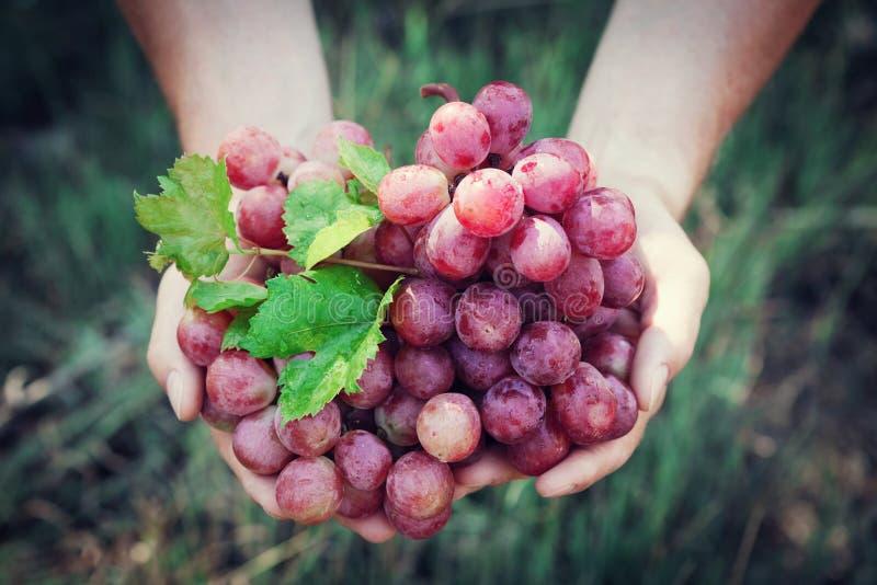 Tenuta dell'enologo in mani il raccolto dell'uva Frutti e tema organici di azienda agricola Vista superiore immagini stock libere da diritti