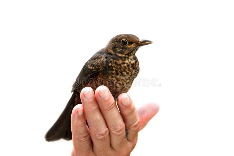 Tenuta dell'uccello fotografia stock