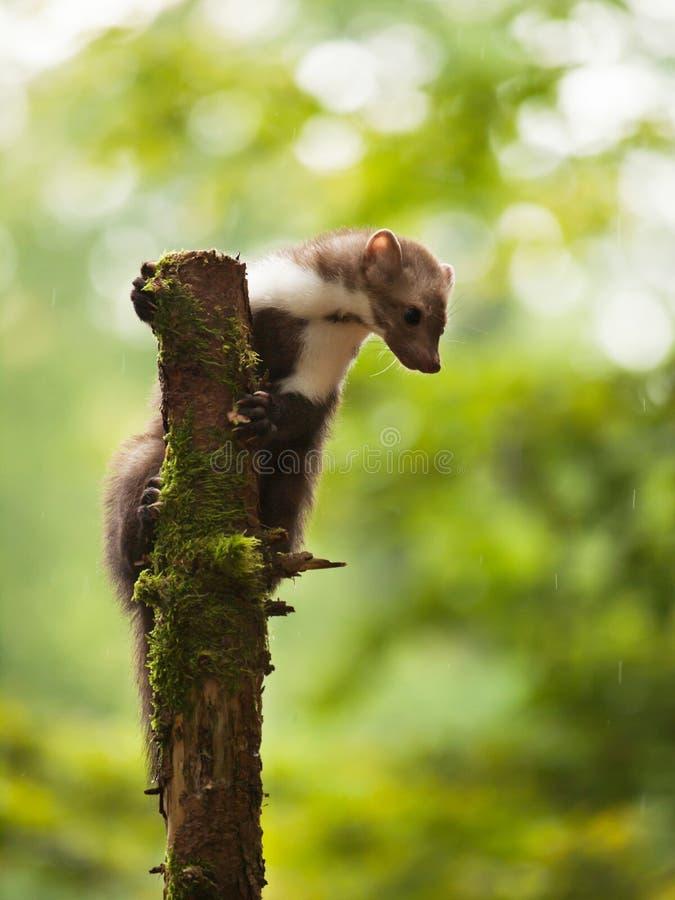Tenuta della martora breasted bianco sull'albero fotografia stock libera da diritti