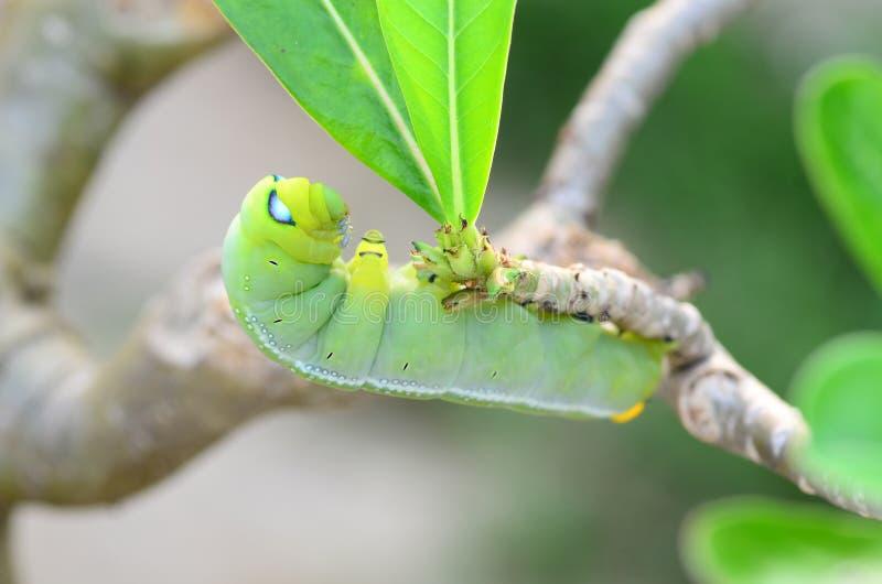 Tenuta di Caterpillar fotografia stock libera da diritti