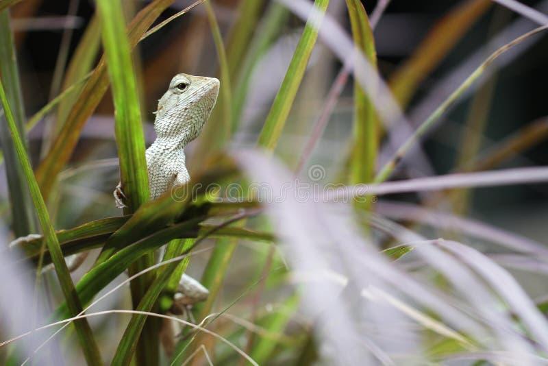 Tenuta verde del supporto del camaleonte sulla foglia nella giungla, piccolo insetto dell'albero di caccia del drago della lucert fotografia stock