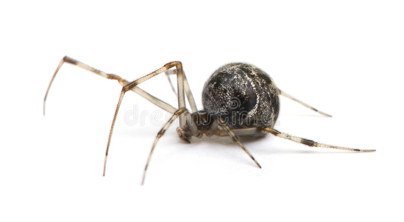 tepidariorum commun d'araignée de maison d'achaearanea images stock