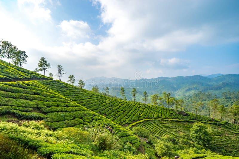 Teplantages i Munnar, Kerala, Indien arkivbild