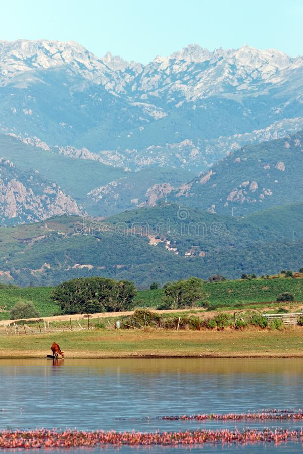 Teppe rosse lake in Corsica. Cattle and teppe rosse lake in eastern plain of Corsica island royalty free stock image