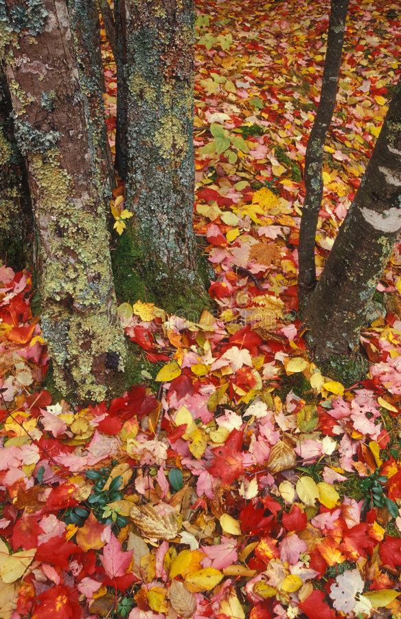 Download Teppich der Blätter stockfoto. Bild von fall, auszug, farben - 33808