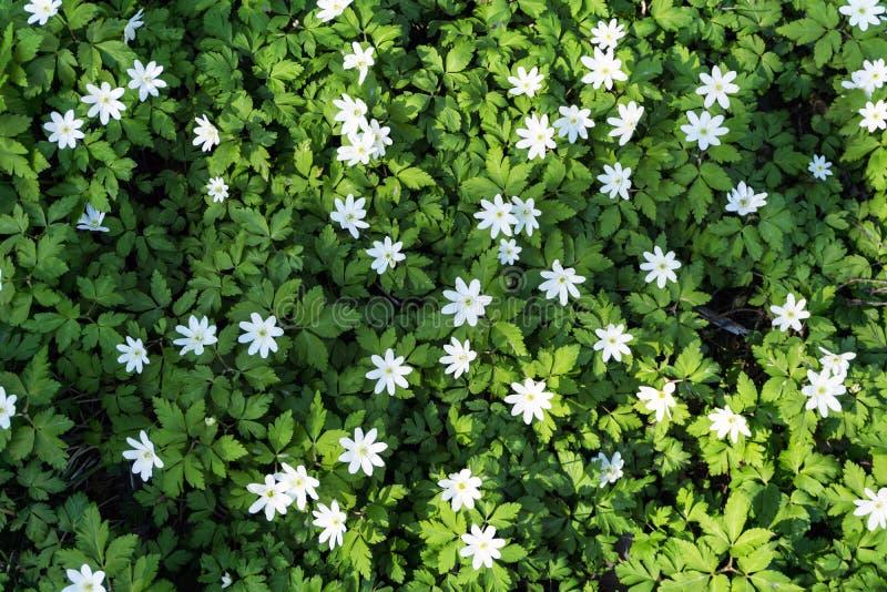 Teppich von Waldschneeglöckchen Anemone uralensis stockfotos
