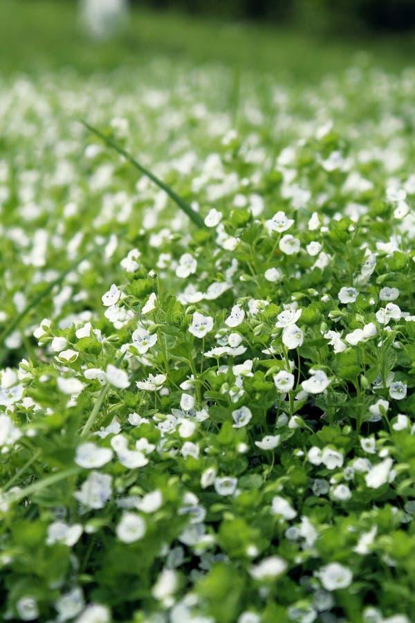 Teppich von weißen Blumen lizenzfreie stockfotografie