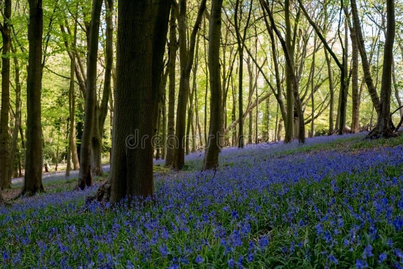 Teppich von wilden Glockenblumen unter den Bäumen in einem Holz bei Ashridge, Großbritannien lizenzfreies stockfoto