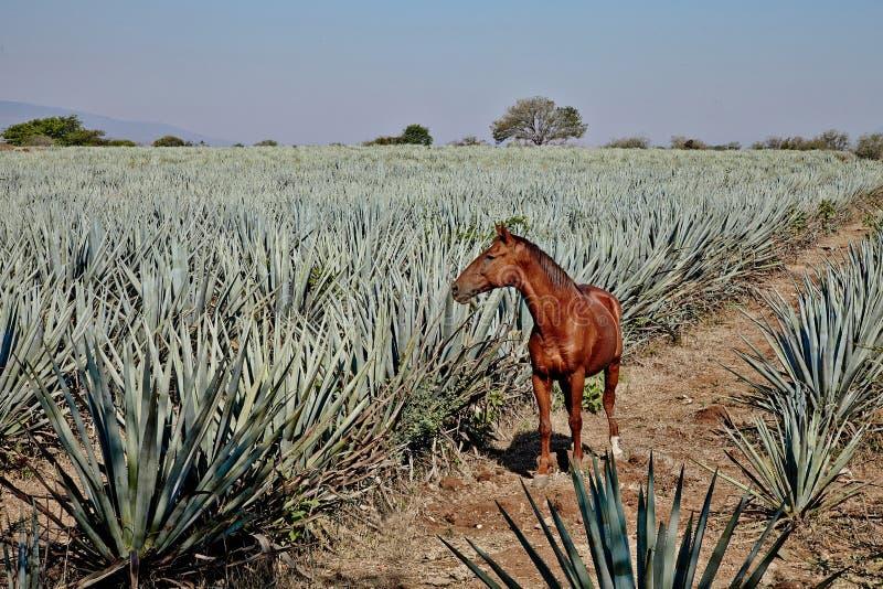 Tequila Μεξικό Lanscape στοκ φωτογραφίες