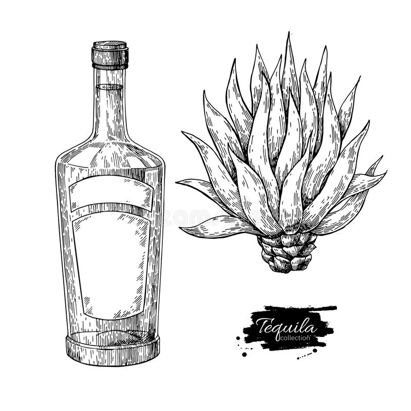 Tequila bottle with blue agave. Mexican alcohol drink vector drawing. Sketch of cocktail royalty free illustration