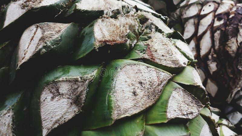 Tequila dell'agave immagine stock libera da diritti
