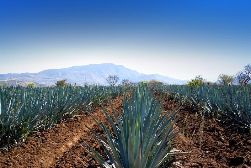 Tequila guadalajara de Lanscape imagem de stock royalty free