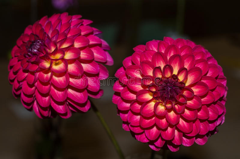 Tequila Sunset Dahlia stock photography