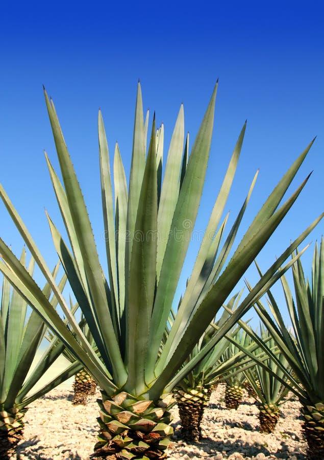 Tequilanainstallatie van de agave voor Mexicaanse tequilaalcoholische drank stock afbeeldingen