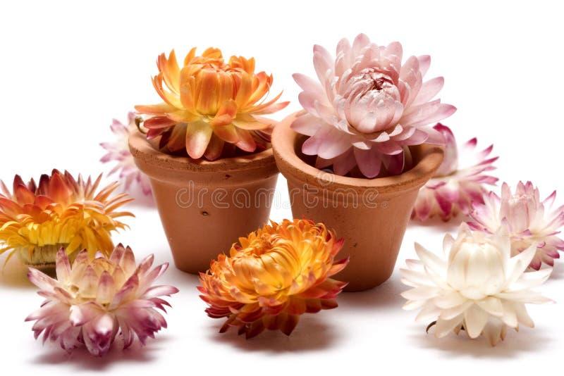 teracotta imortelle flowerpot стоковые изображения rf