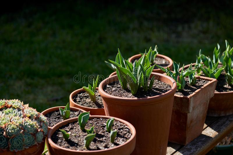 Terakota ogród puszkuje backlit na drewnianej ławce z flancowaniami młodzi tulipany i sukulenty fotografia royalty free