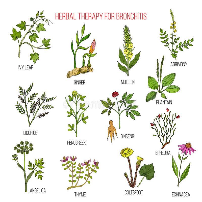 Terapia herbaria para la hiedra de la bronquitis, jengibre, mullein, agrimony, regaliz, alholva, ginseng, efedra, llantén, angéli stock de ilustración