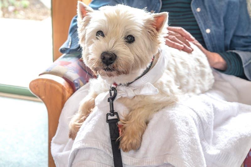 Terapii zwierzęcia domowego pies odwiedza emerytura opieki dom - westie jest na podołku zdjęcie royalty free