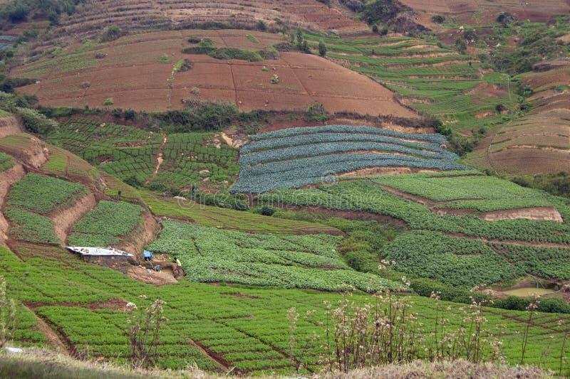 Terassenförmig angelegtes Gemüse, das an ooty, Tamilnadu, Indien bewirtschaftet stockbild