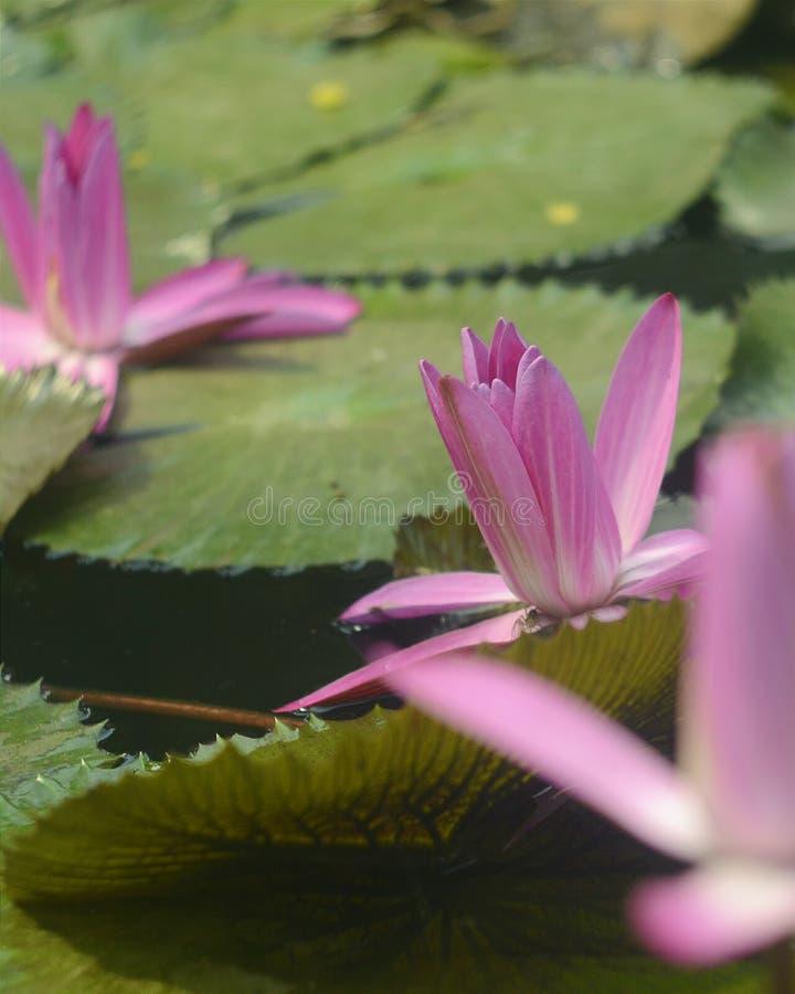 Teratai. Flower in water stock photo