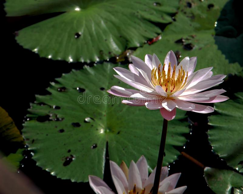 Teratai. Garden water lotus flower foto photo green fresh gradation white bloom walpaper baground royalty free stock photo