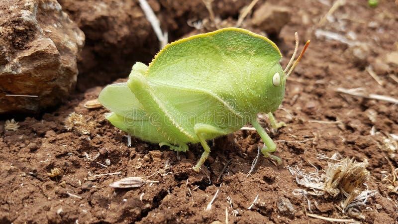 Teratodes monticollis - med huva gräshoppa fotografering för bildbyråer