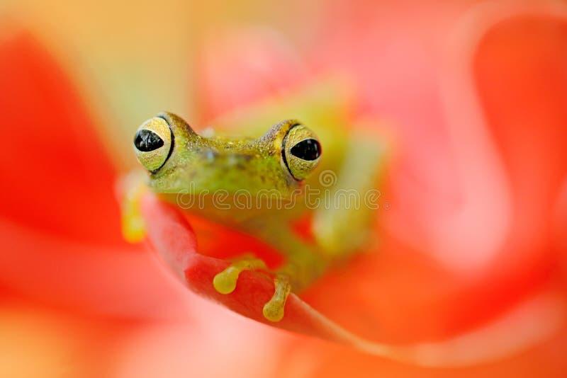 Teratohyla spinosa, Spiny Szklana żaba, tinny amfibia z czerwonym kwiatem w natury siedlisku, Żaba od Costa Rica, zwrotnik las zdjęcie stock