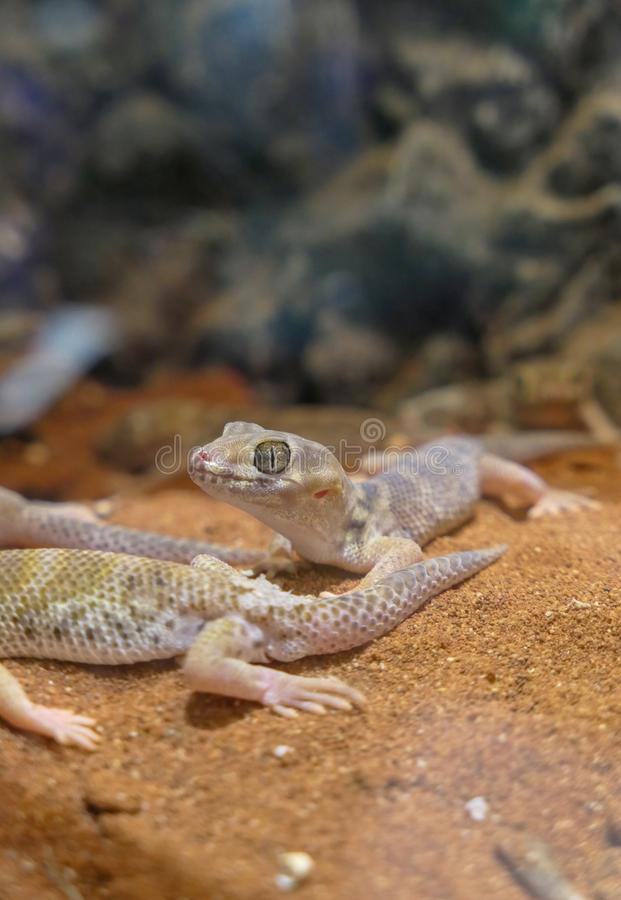 Teratoscincus scincus lizard with big eyes that is warm stock photography