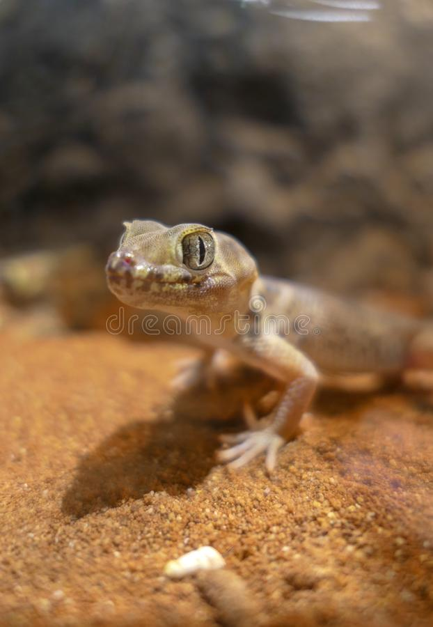 Teratoscincus scincus lizards with big eyes that is warm royalty free stock image