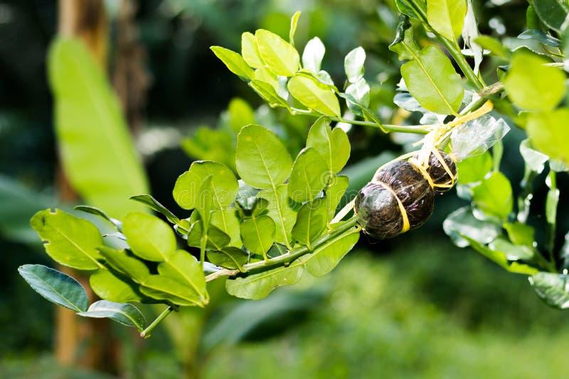 Download Teraz Kilkuramienna Bergamota Zdjęcie Stock - Obraz złożonej z botaniczny, ochrona: 57650648