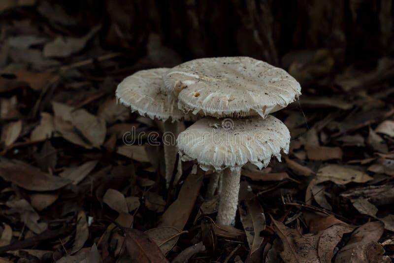 Tercetów pieczarkowych grzybów biali muchomory w ogrodowym łóżku brown liście zdjęcie royalty free
