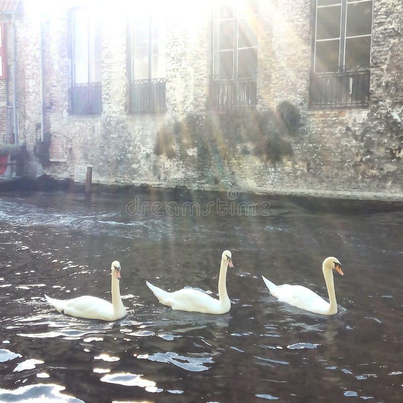 Tercet łabędź w Romantycznym Bruges kanale zdjęcia stock