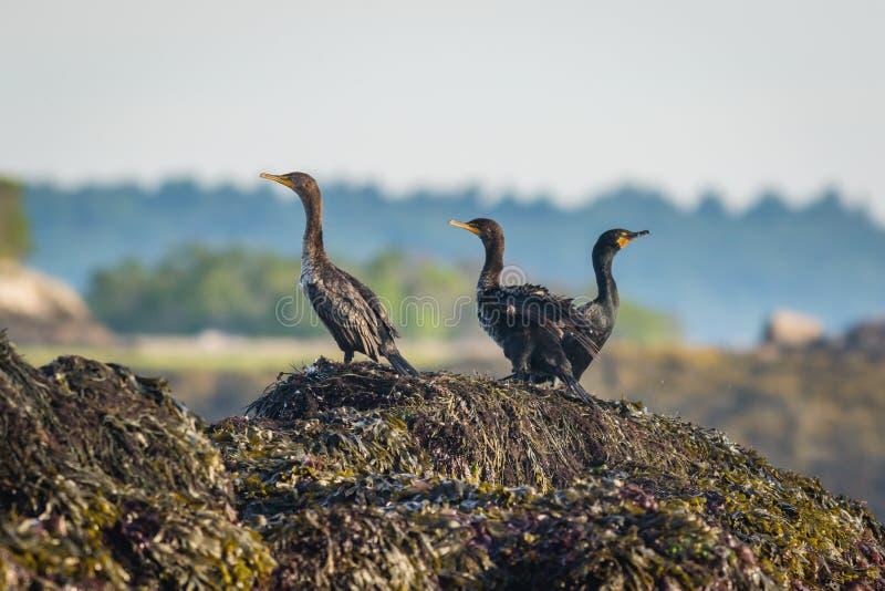 Tercet czubaci kormorany umieszczał na skałach zakrywać z gałęzatką na pogodnym lato ranku fotografia stock