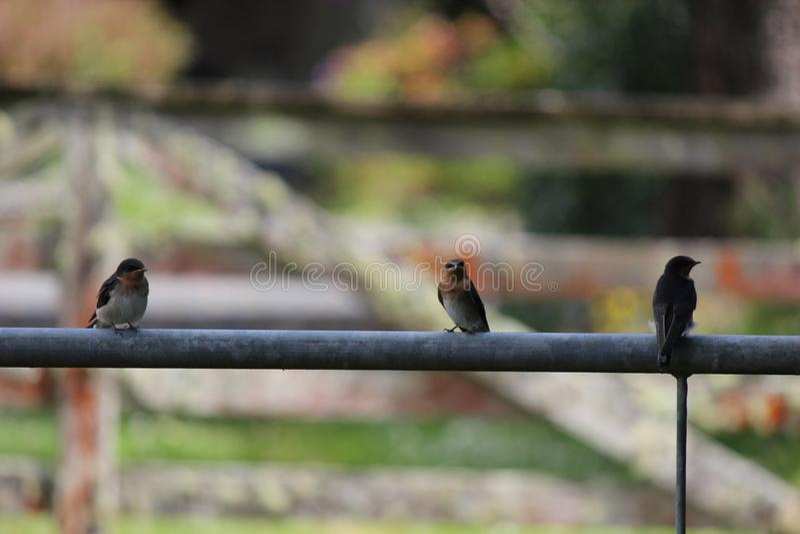 Tercet dymówka ptaki obrazy royalty free