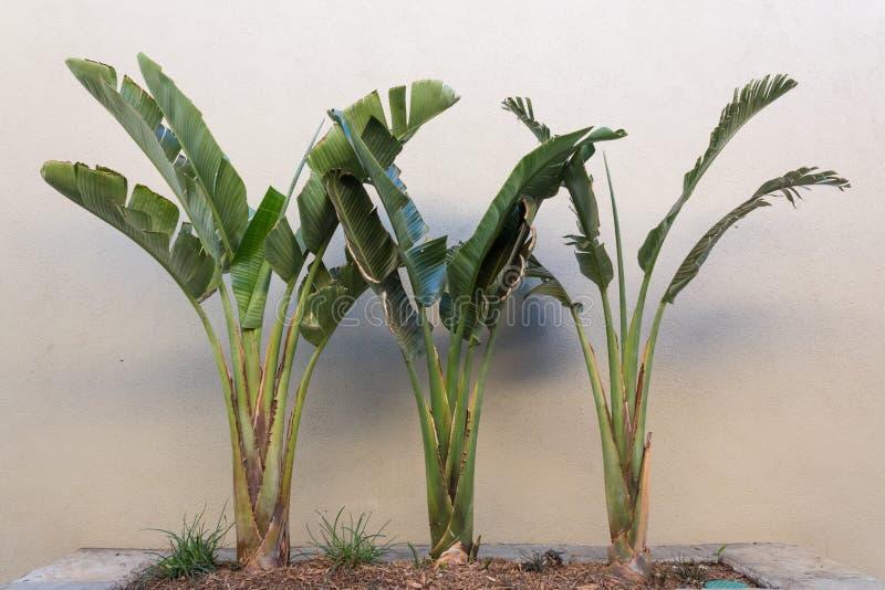 Tercet palmy w kamienny plantatorskim ustawiającym przeciw beżowej stiuk ścianie obrazy royalty free