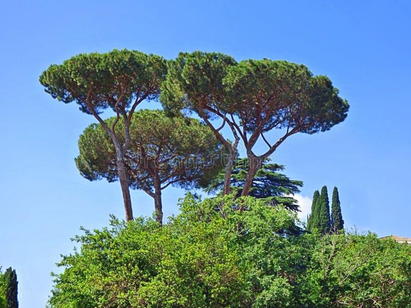 Tercet parasolowi drzewa w Włochy obraz stock